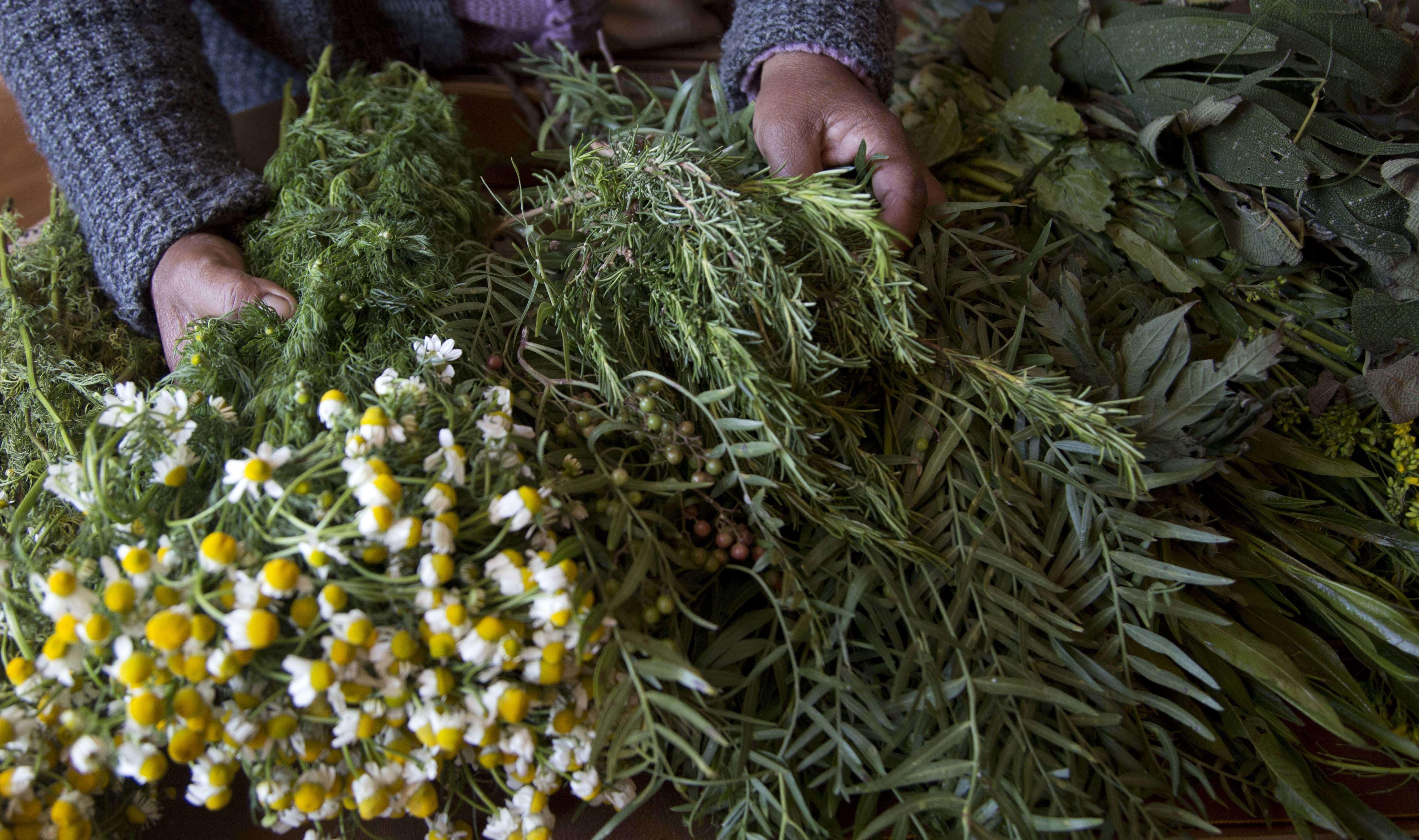 Une sage-femme sélectionne des herbes médicinales, dont l'artemisia, pour soigner une femme enceinte, en Bolivie, en juillet 2017.