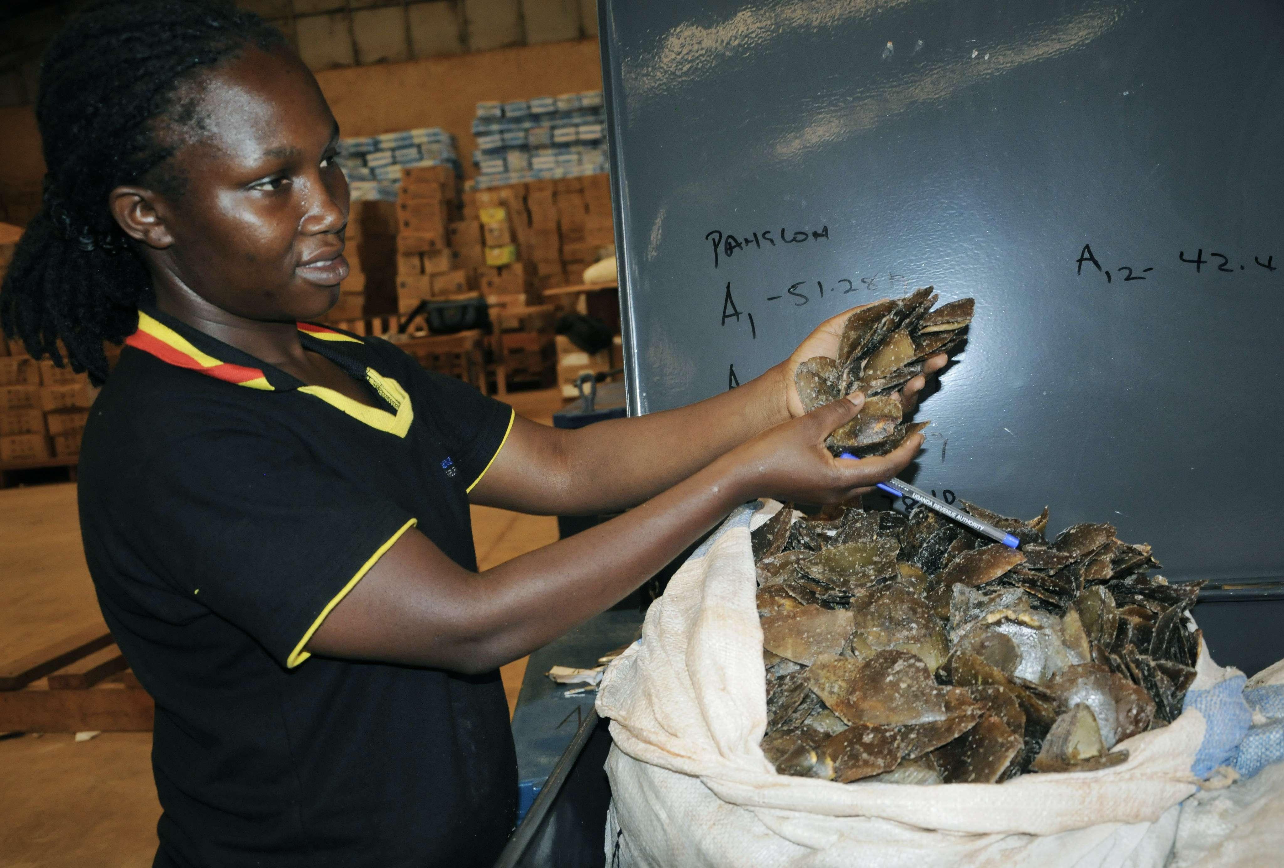 Un agent des douanes montre des écailles de pangolin saisies à Kampala, en Ouganda, le 1er février 2019.