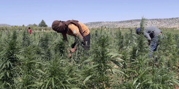 Une plantation de cannabis dans le village de Yammouné, dans la plaine libanaise de la Bekaa.