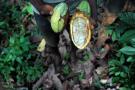 Plantations de cacao de Tombokro, en Côte d'Ivoire.