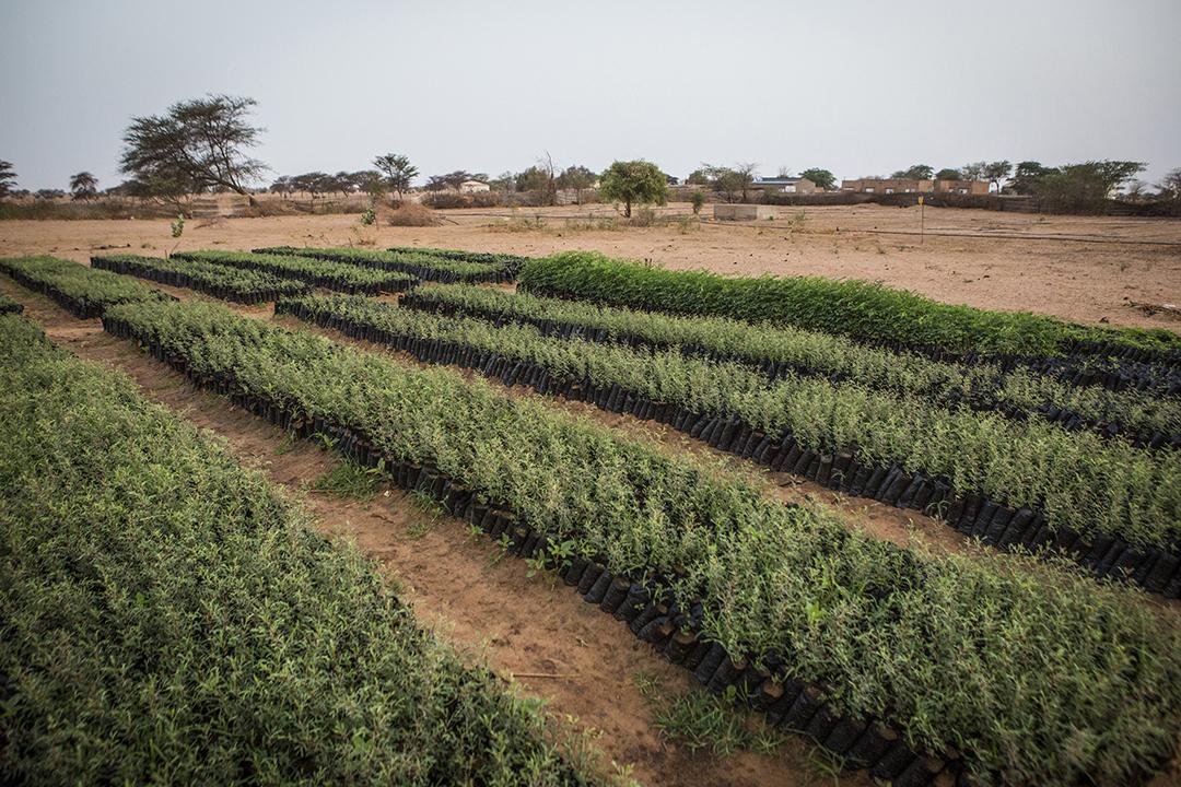 À Mbar Toubab, au Sénégal, 150 000 variétés de plants d'acacia poussent dans un jardin de la Grande Muraille verte.
