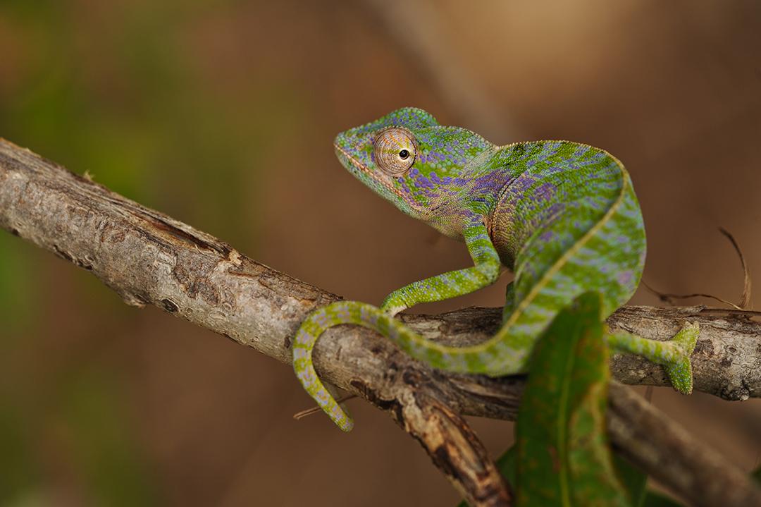 Un caméléon Furcifer viridis