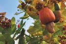 85 espèces de fruits exotiques sont présentées dans cet ouvrage.