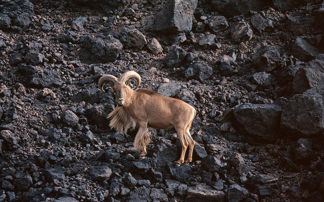 Le mouflon à manchettes compte parmi les espèces que l'Algérie souhaite préserver.
