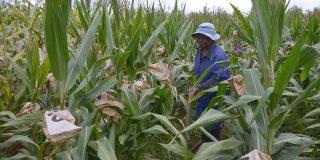 Seed Co est à plus de 90% tourné vers le maïs blanc pour la consommation humaine.