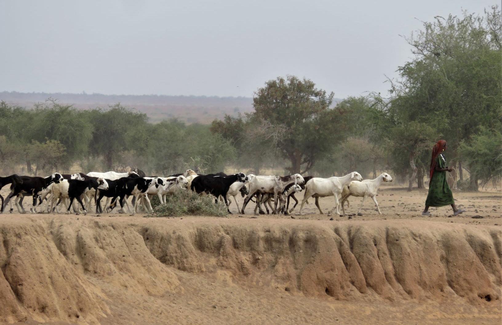Tous les matins dans le principal marigot dans les environs de Mongo, de la taille d'un demi-terrain de football, les troupeaux des nomades installés à proximité viennent s'abreuver. L'eau est tellement rare que les hommes eux-mêmes doivent parfois boire cette eau boueuse.