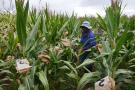 Plantation de maïs.