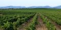 Vignoble de Tekelsa dans la région de Cap Bon (Tunisie).