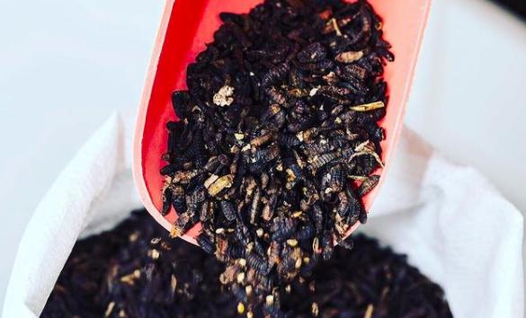 Sur le plan environnemental, les performances de la mouche soldat noir donnent le tournis.