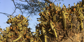 Des criquets grouillent sur un arbre au sud de la ville de Lodwar, au nord du Kenya, le 23 juin 2020.