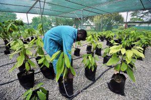 Centre de recherche sur le cacao, à Abidjan