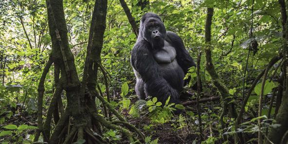 Gorille de montagne dans la jungle du parc national des Virunga, au Nord-Kivu.