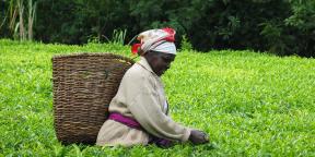 Vue d'un champ de thé, au Kenya, premier producteur africain.