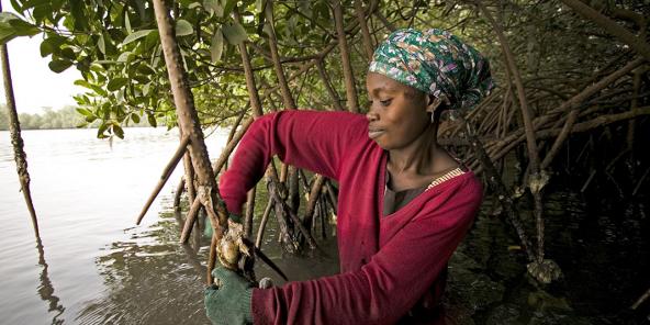 Cueillette des huîtres dans la mangrove à Toubakouta.