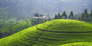 La théiculture fait vivre plus de 60000ménages dans les collines burundaises avec près de 10000hectares de plantations.