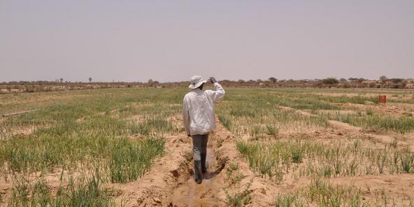 Culture d'oignons au Sénégal.