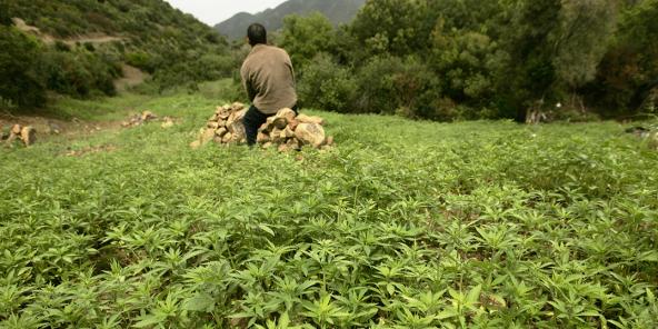 Un agriculteur surveille sa plantation de cannabis près de Chefchaouen (illustration).